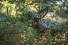 Majestätischer starker Rotwildhirsch Cervus Elaphus im Wald-landsca Lizenzfreie Stockfotos