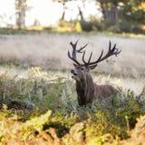 Majestätisk kraftig fullvuxen hankronhjortCervus Elaphus för röda hjortar i skoglandsca Arkivbilder
