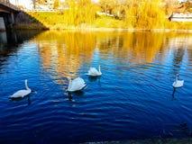 majestätisk swan Arkivfoto