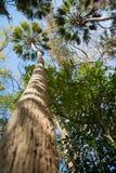 Majestätiska Florida palmträd Royaltyfria Bilder