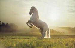 Majestätiskt foto av den kungliga vita hästen Royaltyfri Bild