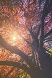 Majestätiskt landskap med det röda trädet för höst Royaltyfri Foto
