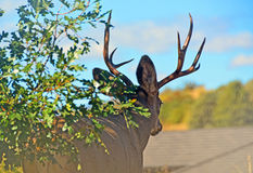 Majestueus Buck Contemplating His Path stock afbeeldingen