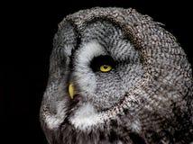Majestueus Groot Grey Owl stock afbeelding