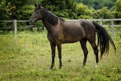 Majestueus Hengstpaard in een Weiland Royalty-vrije Stock Afbeelding