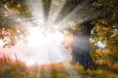 Majestueuze alleen boom op een heuvelhelling met zonnige stralen Gele de herfstbladeren De Karpaten, de Oekraïne, Europa Royalty-vrije Stock Foto