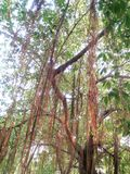 Majestueuze banyan Boom Royalty-vrije Stock Foto's
