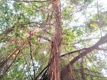 Majestueuze banyan Boom Royalty-vrije Stock Foto