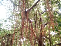 Majestueuze banyan Boom Stock Foto