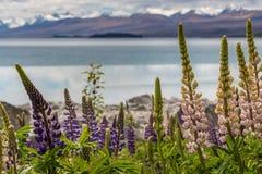 Majestueuze berg met llupins die, Meer Tekapo, Nieuw Zeeland bloeien Royalty-vrije Stock Foto