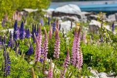 Majestueuze berg met llupins die, Meer Tekapo, Nieuw Zeeland bloeien Stock Afbeeldingen