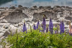 Majestueuze berg met llupins die, Meer Tekapo, Nieuw Zeeland bloeien Royalty-vrije Stock Afbeelding