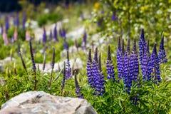 Majestueuze berg met llupins die, Meer Tekapo, Nieuw Zeeland bloeien Royalty-vrije Stock Afbeeldingen