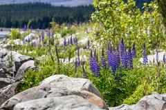 Majestueuze berg met llupins die, Meer Tekapo, Nieuw Zeeland bloeien Royalty-vrije Stock Fotografie