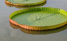 Majestueuze de leliestootkussens van Amazonië in tropisch Azië (Victoria Regia) Stock Foto