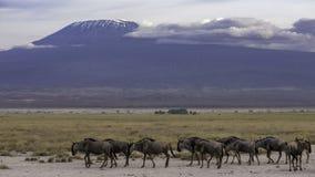 Majestueuze kilimanjaro als achtergrond r stock afbeelding