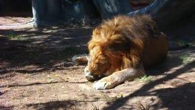 Majestueuze leeuw die op het zand liggen stock video