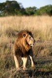 Majestueuze leeuw die zich in het gras bevindt stock fotografie