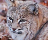 Majestueuze lynx hoofdschot Stock Foto