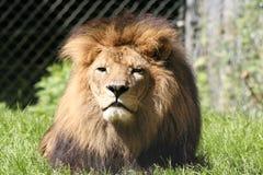 Majestueuze Mannelijke Leeuw Stock Afbeelding