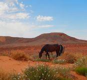 Majestueuze Paarden die in de Woestijn weiden Stock Foto