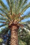 Majestueuze palm Stock Afbeeldingen