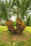 Majestueuze palm Royalty-vrije Stock Afbeelding