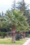 Majestueuze Palmen Stock Foto