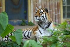 Majestueuze tijgeraandacht royalty-vrije stock foto