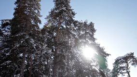 Majestueuze witte sparren, die met zonlicht glanzen Schilderachtige en elegante de winterscène De toevlucht van de plaatsski Gelu stock footage