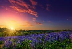 Majestueuze zonsondergang over gebied van lupine blauwe bloemen Stock Afbeeldingen