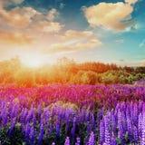 Majestueuze zonsondergang over gebied van lupinebloemen royalty-vrije stock foto