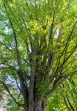 Majestuous Old Maple Tree in Canada Stock Photos