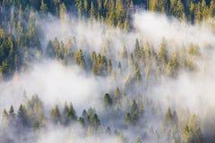 Majesty of nature, misty coniferous forest at sunrise. Morning i stock photos