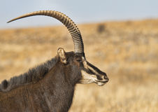 Majetic sable antelope Stock Photography