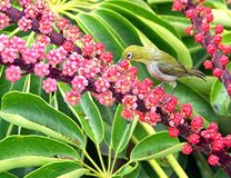Majiro (White Eye). Taken in Hawaii Royalty Free Stock Photography