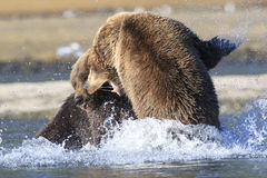 Major Brown Bear fight. Tow huge brown bear boars fighting Royalty Free Stock Photo