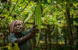 Agriculture in kerala . harvest stock image