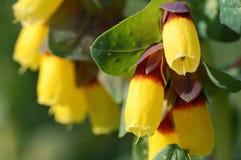 Major de Cerinthe - flor amarela Fotografia de Stock Royalty Free