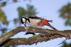 Major de Dendrocopos, woodpecker Grande-manchado Imagens de Stock Royalty Free