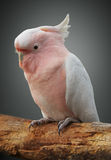 Major mitchell cockatoo. On a perch Royalty Free Stock Photo
