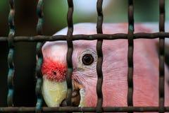 Major mitchell cockatoo behind cage Stock Photos
