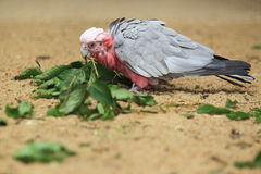 Major Mitchell cockatoo. Eating some leaves Royalty Free Stock Images