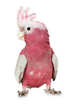Major Mitchell Cockatoo on the white background.  royalty free stock images