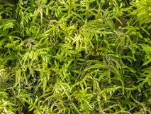 Major moss, fresh and green Stock Photos
