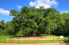 Major Oak, Sherwood Forest, Nottinghamshire Lizenzfreies Stockfoto