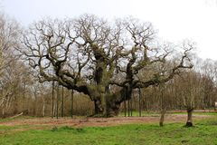 Major Oak, Sherwood Forest Nottinghamshire England Stockfotos
