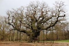 Major Oak, Sherwood Forest Nottinghamshire England. The Major Oak is a large English Oak tree (quercus robur) in Sherwood Forest near Edwinstowe, Nottinghamshire Royalty Free Stock Image