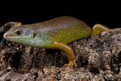 Major skink Stock Images