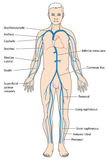 Major veins of the body Royalty Free Stock Images